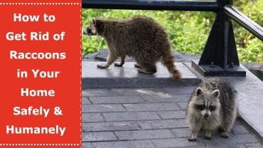 how to get rid of racoons