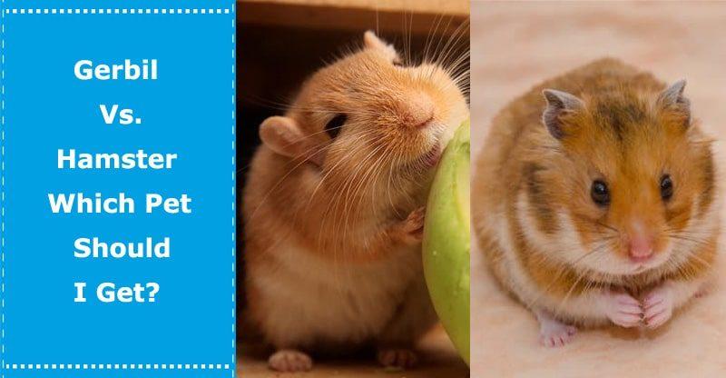 gerbil vs hamster